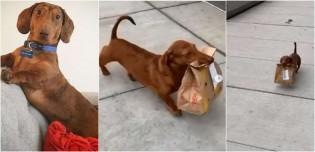 Vizinho flagra cachorro dachshund carregando lanche do McDonald's para sua dona e vídeo viraliza