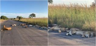 Sem a presença de humanos, leões dormem em estrada de reserva natural na África do Sul