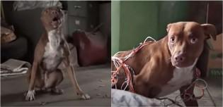 Pit bull que passava fome nas ruas e era traumatizada com humanos muda completamente após ganhar amor