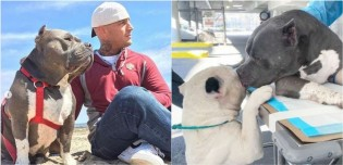 Após perderem o dono, 2 pitbulls consolam um ao outro
