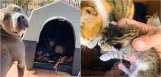 Cachorro pit bull acolhe em sua casinha gata de rua grávida, a apoia e a faz companhia