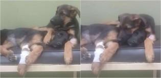 Em vídeo comovente, cão consola irmã caçula doente durante visita ao veterinário para tratar parvovirose