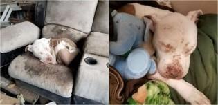 Cachorro pit bull de rinha é resgatado em péssimas condições e comove socorristas com olhar doce