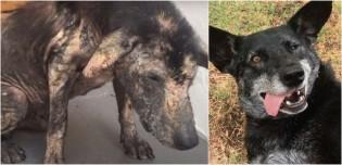 Encontrado morrendo de fome, cão passa por transformação inacreditável após ser adotado