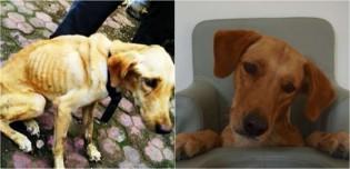 Labradora desnutrida é largada em bueiro, luta para sobreviver e ganha nova vida após o resgate