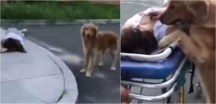 Golden retriever protege dona que desmaiou na rua até o resgate chegar: 'Não deixava ninguém chegar perto'