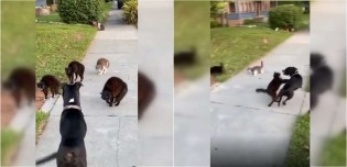 Cachorro grandalhão é colocado pra correr por 'gangue' de gatos em briga por território; assista
