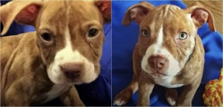 Filhote de pit bull desnutrida que foi confundida com rato, é adotada e tem vida transformada
