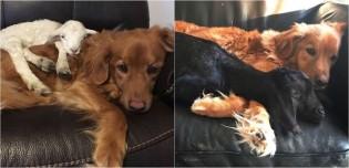 Cabra conforta cão golden retriever deprimido que perdeu seu melhor amigo: um cordeiro