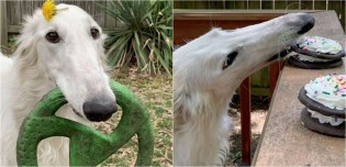 Cadela da raça borzoi com focinho mais comprido do que o normal ganha popularidade nas redes