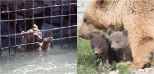 Ursa que viveu durante 10 anos em jaula  inundada, é resgatada e dá à luz dois filhotes