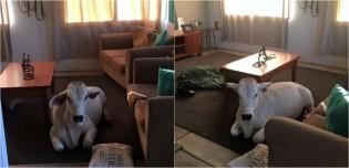 Fazendeira sai para fazer compras e encontra vaca a esperando dentro de casa quando retorna; vídeo