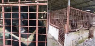 Família de ursos cruelmente explorada por 21 anos é liberta e transferida para santuário