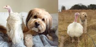 Cão e peru resgatados de matadouro fazem amizade e são adotados juntos - confira