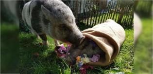 Porco fica inconsolável após morte de sua amada - 12 anos juntos