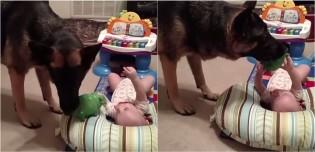 Vídeo: Pastora alemã brinca com bebê e tem todo cuidado para não assustá-la