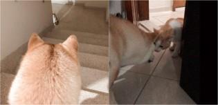 Viralizou no Twitter: dono narra paixão de sua cadela akita por gato misterioso do prédio