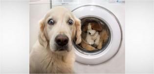 Cadela golden retriever 'horrorizada' ao ver sua pelúcia favorita na máquina de lavar viraliza