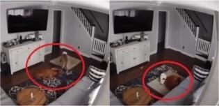 Pit bull arrasta cama para que seu irmão que está doente possa deitar e ficar confortável; assista