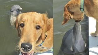 Cão golden retriever e golfinho constroem linda amizade há 8 anos na Flórida; veja fotos