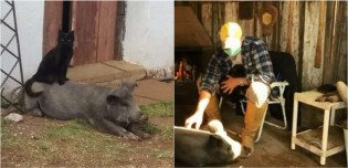 Inseparáveis, porco e gato mantêm amizade desde filhotes no Rio Grande do Sul; confira o vídeo