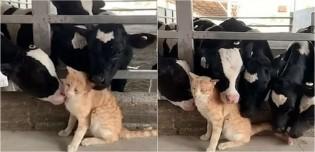 Gato caramelo recebe sessão especial de banho de cinco vacas ao mesmo tempo; assista