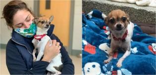 Após perder dono vítima de covid-19 e ser deixada em abrigo, cachorra chihuahua ganha nova família amorosa