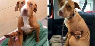 Amigos inseparáveis, pit bull e chihuahua que viviam em abrigo são adotados juntos