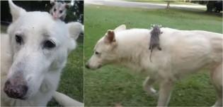 Cão pastor alemão branco adota filhote de gambá que perdeu mãe em atropelamento e o trata como filho