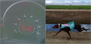 Em vídeo impressionante, cadela Dobermann atinge 35 Km/h durante corrida; confira