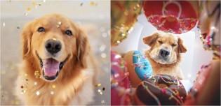 Para surpreender seu cão golden retriever que adora donut, dona filma a reação dele abrindo caixa cheia deles
