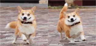 Com expressões faciais hilárias, cachorro corgi ganha fãs na internet; confira as fotos