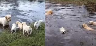Pai labrador incentiva seus filhotes a nadarem pela primeira vez em lagoa; vídeo