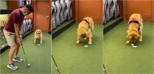 Golden retriever ajuda dono a acertar jogada de golfe empurrando bola com focinho e depois o parabeniza pelo lance