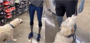 Cão golden retriever ultra simpático entra em loja e cumprimenta manequins pensando ser gente