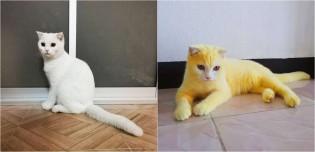 Gato fica com pelo todo amarelo após dona utilizar mistura caseira com cúrcuma para tratar fungos