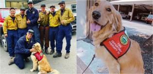 Golden retriever terapeuta atua oferecendo abraços para bombeiros que lutam contra incêndios florestais na Califórnia