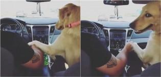 Golden retriever só anda no banco da frente e exige que o seu dono segure sua pata enquanto dirige; confira