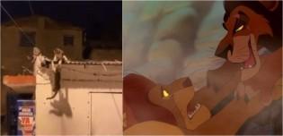 Gatinhos lutam em telhado recriando cena idêntica do filme 'Rei Leão' e vídeo épico viraliza