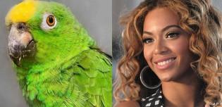 Conheça 'Chico', o papagaio que canta músicas da Beyoncé e que conquistou as redes sociais