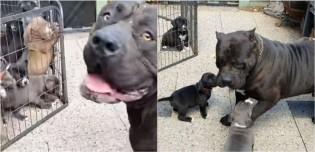 Em vídeo 'iti malia', cachorro pit bull conhece seus 13 filhotes pela 1ª vez