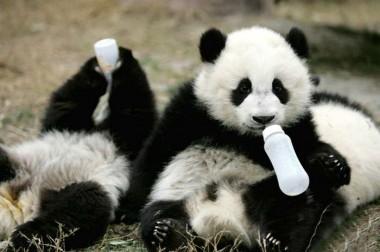 Tudo que você precisa para melhorar o dia: conheça 7 fatos sobre os Pandas