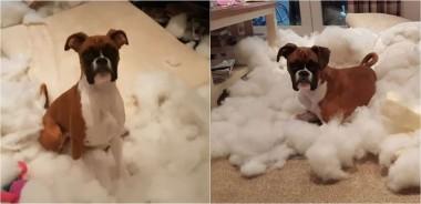 Foto: Reprodução Youtube / Layla the Boxer Dog