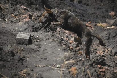 Cão salta em meio à lama em busca de vítimas da tragédia em Brumadinho, na quinta-feira (31) — Foto: Mauro Pimentel/AFP