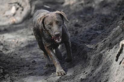 Cão ajuda bombeiros na busca por vítimas da tragédia em Brumadinho, na quinta-feira (31) — Foto: Mauro Pimentel/AFP