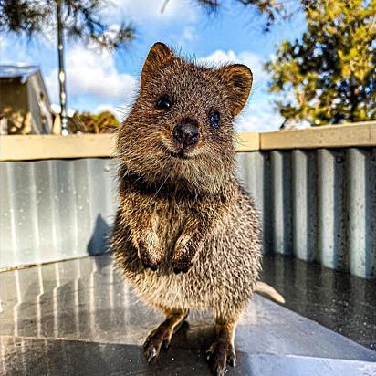 O quokka é encontrado em ilhas menores na costa australiana.