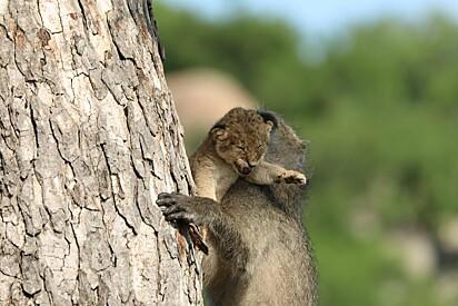 O babuíno escalando a árvore com o filhote nos braços.