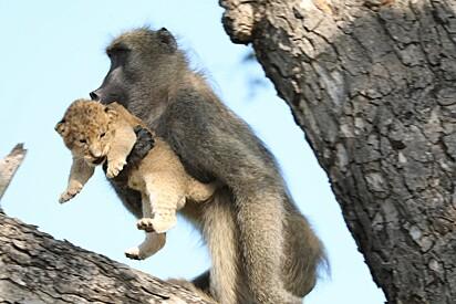 A cena foi flagrada em fevereiro de 2020 no Parque Nacional Kruger, na África do Sul.