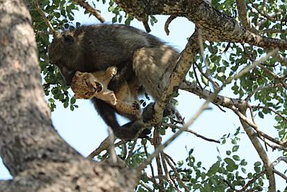 Kurt acredita que o babuíno estava protegendo o filhote.