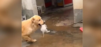 A Golden retriever encontrou o filhote de gato na rua e o carregou pela boca. (Foto: Reprodução Youtube/Viral Paws)